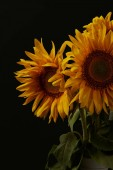 Fotografie summer bouquet with beautiful orange sunflowers, isolated on black