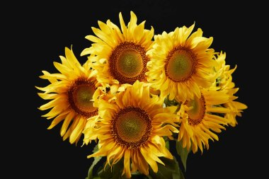 beautiful bright yellow sunflower bouquet, isolated on black