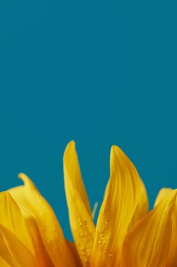 drops on yellow sunflower petals, isolated on blue with copy space