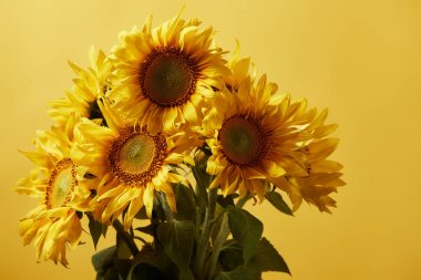 bouquet with orange beautiful sunflowers, isolated on yellow