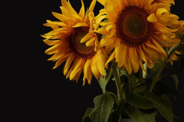 summer bouquet with yellow sunflowers, isolated on black