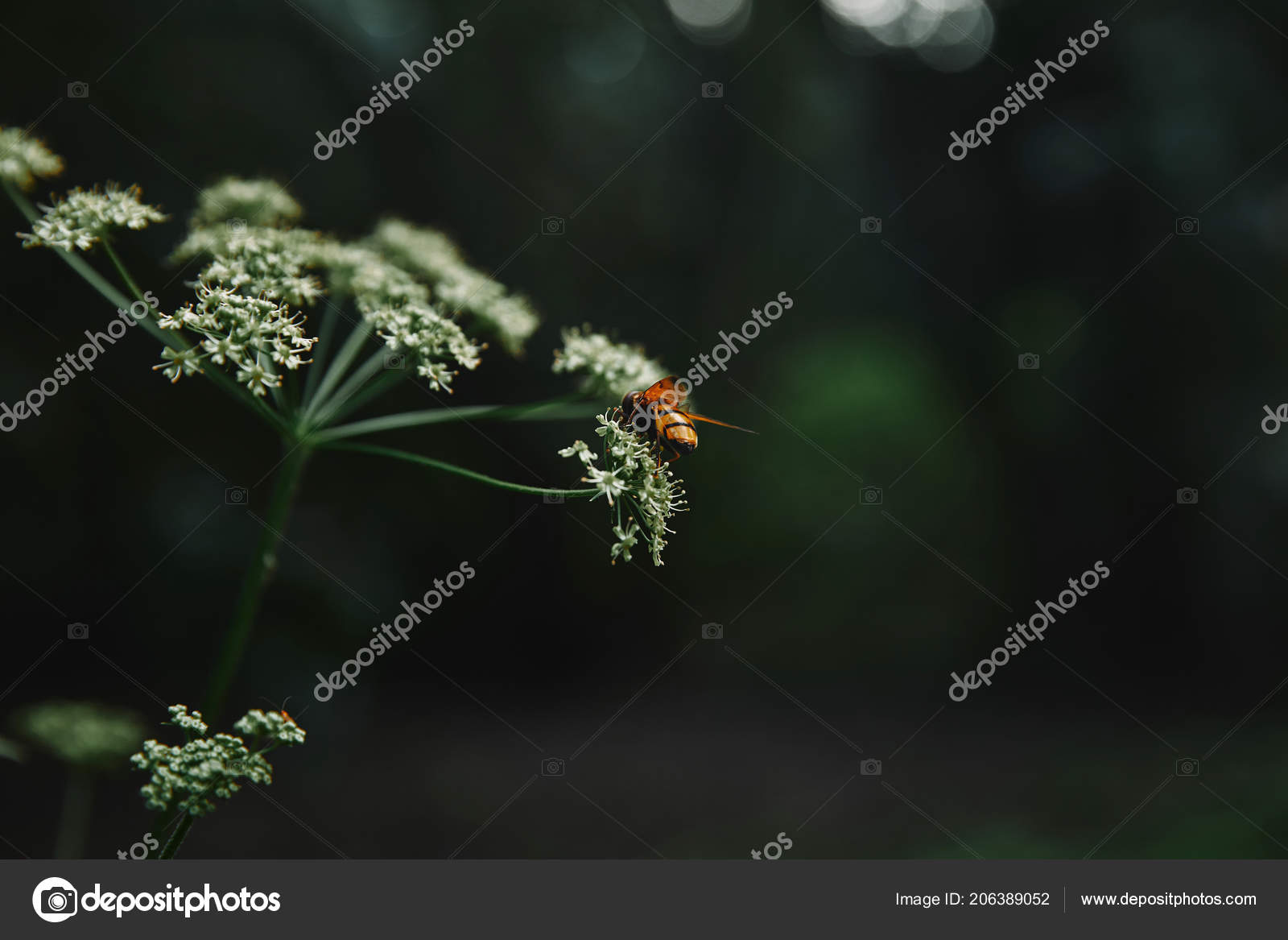 Selective Focus Bee Cow Parsley Flowers Blurred Background Stock Use In Macro Photography For Dummies Photo