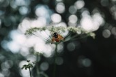 Fotografie selective focus of bee on cow parsley flowers with blurred background