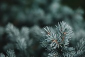Fotografie selective focus of white pine branches with needles on blurred background