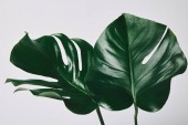 beautiful green monstera leaves isolated on white