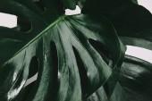 Vollbild-Aufnahme von Monstera-Blättern isoliert auf Weiß