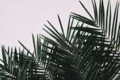 Fotografia vista superiore dei rami di palma isolato su bianco
