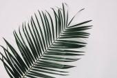 felülnézete a palm ág, fehér felületre