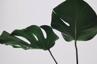 beautiful monstera leaves isolated on white