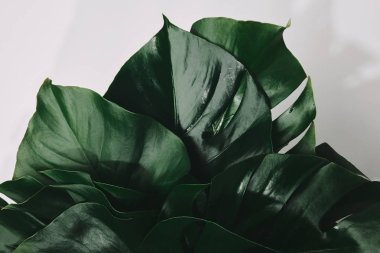 top view of bunch of monstera leaves isolated on white