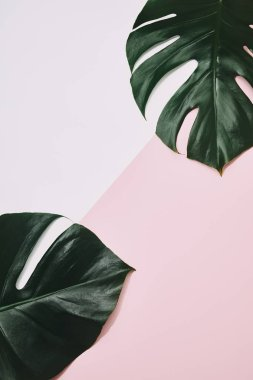 top view of green monstera leaves on pink surface