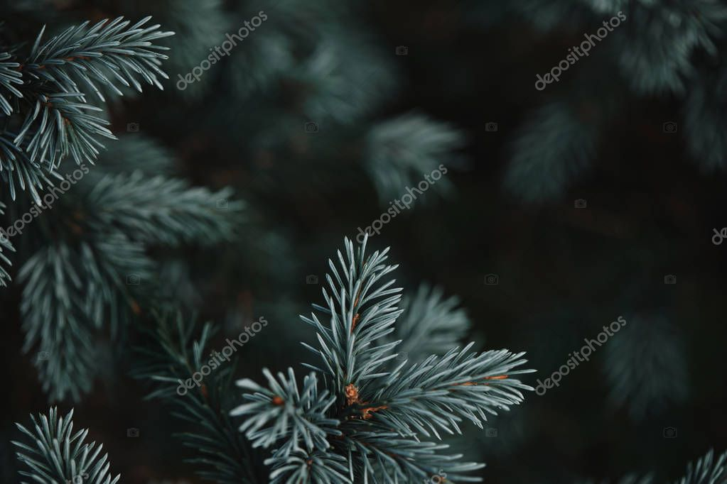 selective focus of white pine branches with needles on blurred background