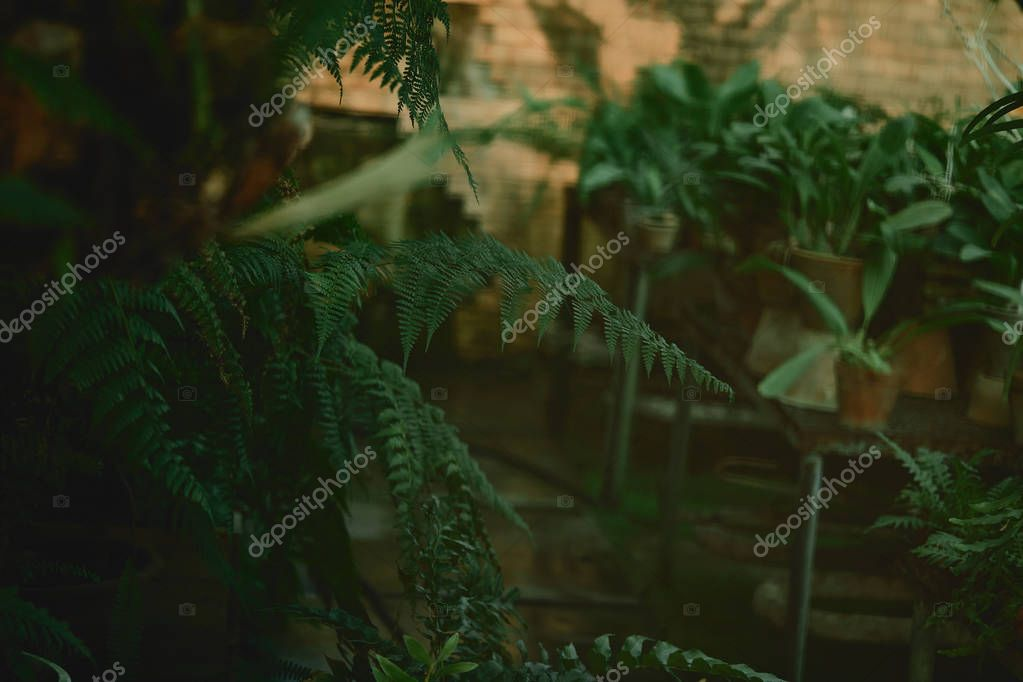 selective focus of green leaves of ostrich fern