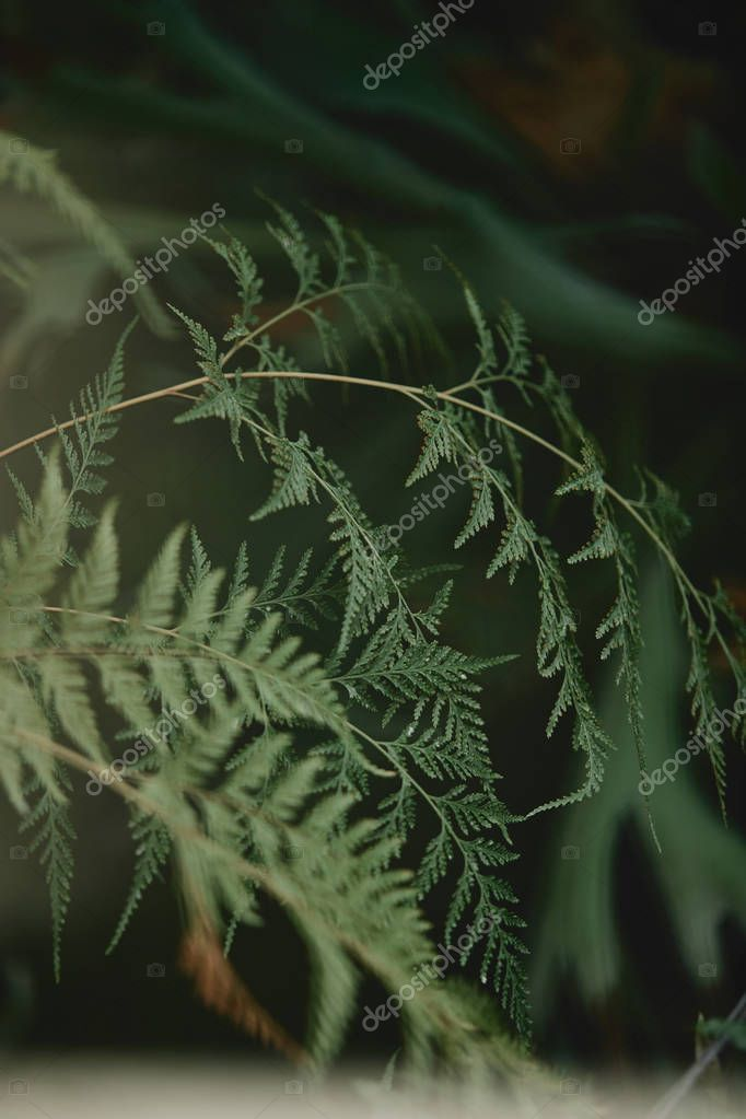 selective focus of branches with green leaves of cypress on blurred background