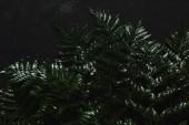vista ravvicinata della bella felce verde bagnata sul nero