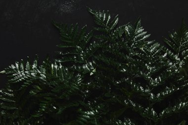close-up view of beautiful green wet fern on black