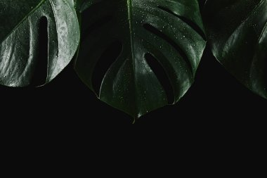 close-up view of beautiful green wet monstera leaves isolated on black