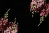 beautiful pink decorative gladioli flowers isolated on black