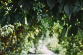 wild vine leaves in garden with blurred pathway