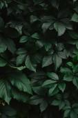 zblízka zelené divoké révy vinné listy v zahradě