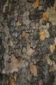 Közelkép a szutykos szürke kéreg a fa