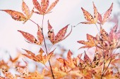 close up of autumnal orange foliage on tree branches in park