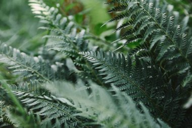 selective focus of green ferns leaves in garden