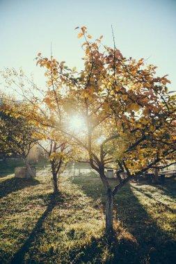 Sun shining through autumnal golden tree in garden in Vorokhta, Carpathians, Ukraine stock vector