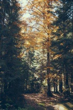 Fall scenic mountain forest in Carpathians, Ukraine stock vector