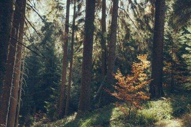 Scenic view of beautiful green forest in Carpathians, Ukraine stock vector