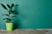 Photo Ficus plant in flowerpot on green background