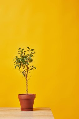 Houseplant in flowerpot at wooden table isolated on yellow