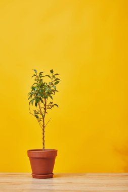 green houseplant in pot on wooden surface on yellow