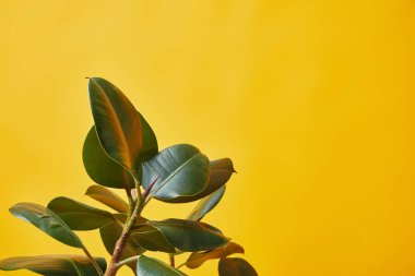 Close up of green ficus leaves isolated on yellow