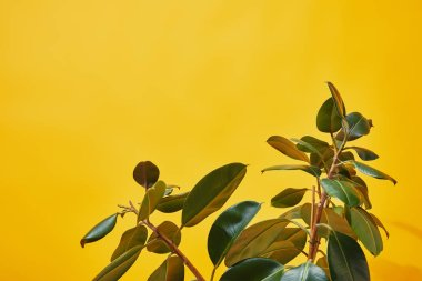 Close up of green ficus leaves on yellow background