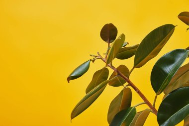 Close up of ficus big green leaves isolated on yellow