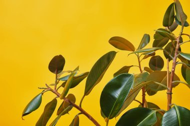 Close up of ficus green leaves isolated on yellow