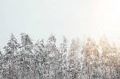 malerischer Blick auf den verschneiten Winterwald mit Kiefern und seitlicher Beleuchtung