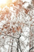 Fotografie Close up view of oak leaves and twigs covered with snow with side lighting in winter forest