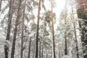 Fotografie Malebný pohled borovic sněhem v zimě lese