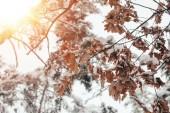 Fotografie Zblízka pohled dubové listí a větvičky ve sněhu s boční osvětlení v zimě lese