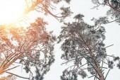 Blick von unten auf schneebedeckte Bäume in wunderschönen Winterwäldern und Sonnenlicht