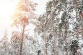 nízký úhel pohled na zasněženou zimní les a slunečního záření