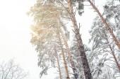 Fotografie Niedrigen Winkel Blick auf Pinien im verschneiten Winterwald mit Sonnenlicht