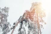 Fotografie Niedrigen Winkel Blick auf Pinien im verschneiten Winterwald und Sonnenlicht