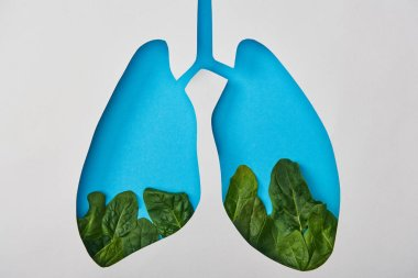 top view of lungs model with leaves isolated on white