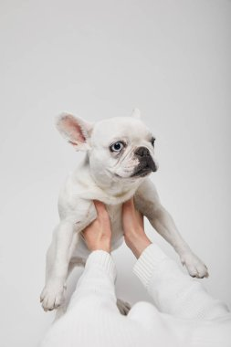 Cropped view of female hands holding french bulldog on white background stock vector
