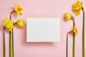 pohled shora krásné žluté narcisy a bílou prázdnou kartu na růžovém pozadí
