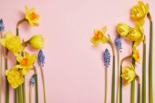 top view of beautiful blue hyacinths and yellow daffodils on pink background with copy space