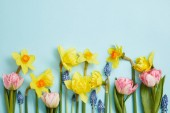 top view of pink tulips, yellow daffodils and blue hyacinths on blue background